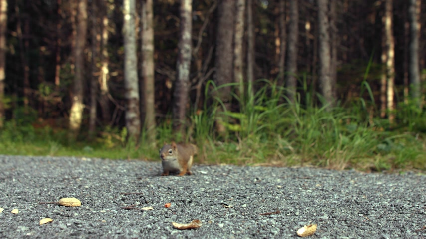 tlapky : Squirrel Eating Peanuts on the Ground Close-up Dostupné videozáznamy
