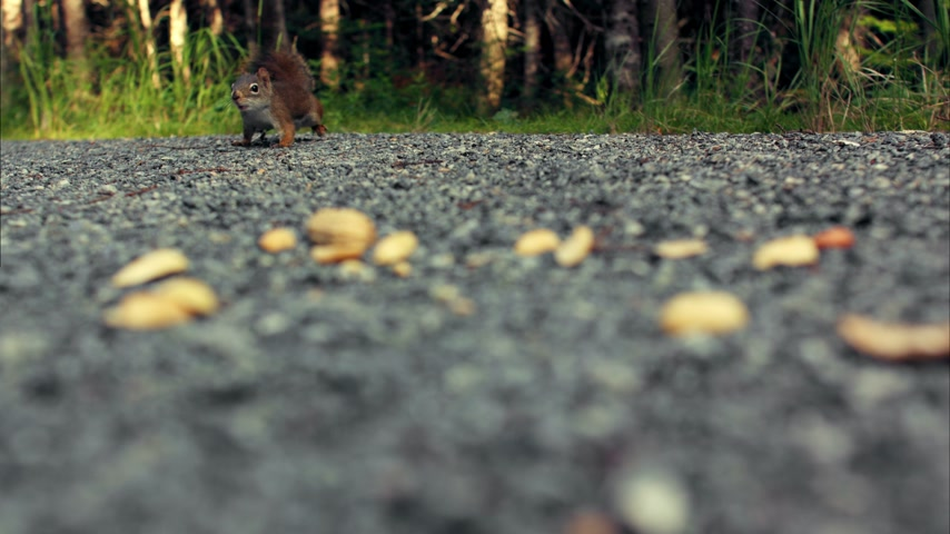 kürk : Squirrel Eating Peanuts on the Ground Close-up Stok Video