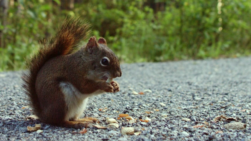 rongeur : Squirrel Eating Peanuts sur le terrain Close-up Vidéos Libres De Droits