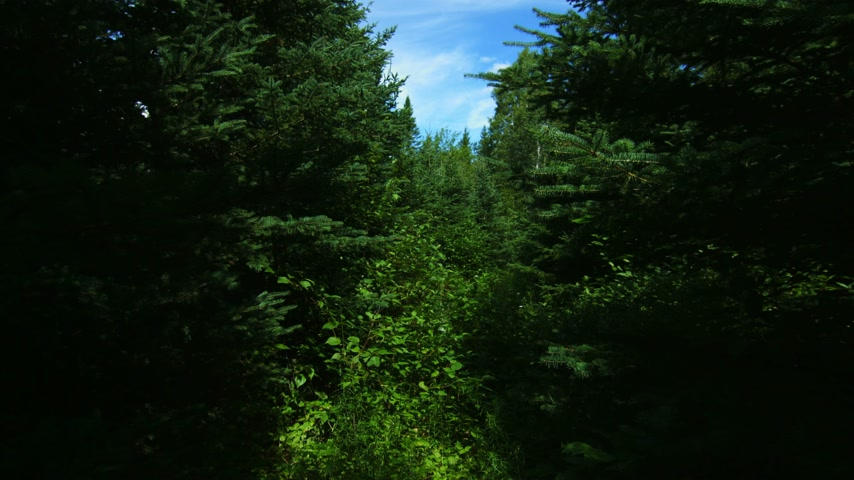 point of view pov : POV of Someone or Something Walking in the boreal forest in a wild Path