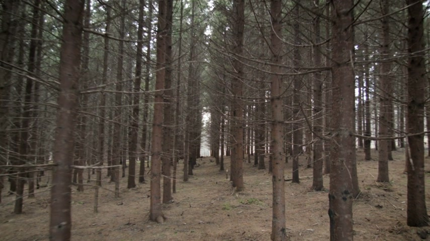 silvicultura : Walking Through Mature Spruce Tree Plantation