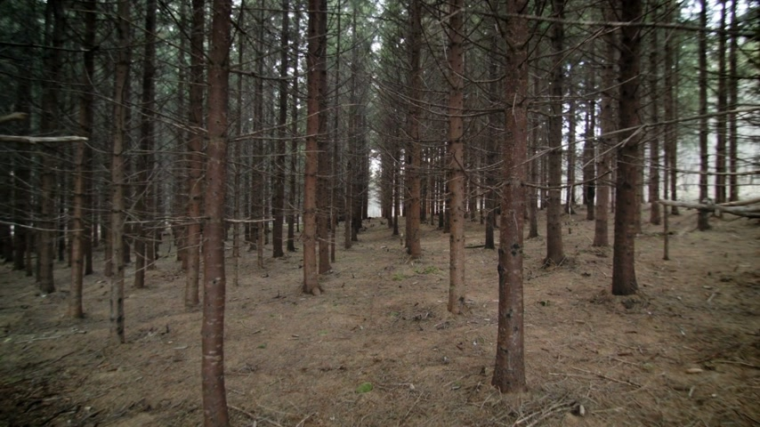 erdészet : Walking Through Mature Spruce Tree Plantation