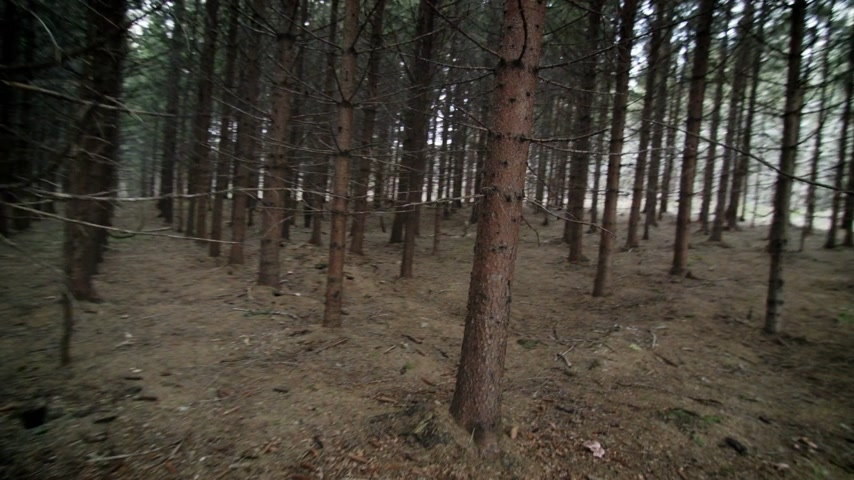 erdészet : Lost POV person running through a Mature Spruce Tree Plantation