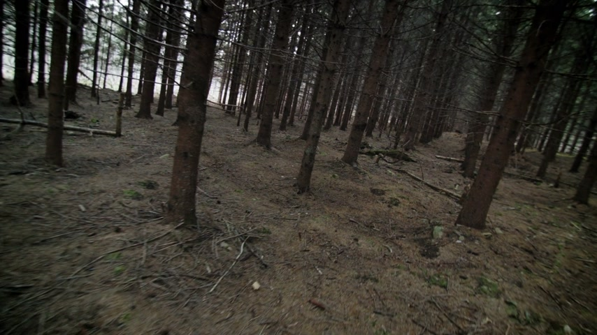 silvicultura : Someone Lost in Forest and Walking Through a Mature Spruce Tree Plantation Stock Footage