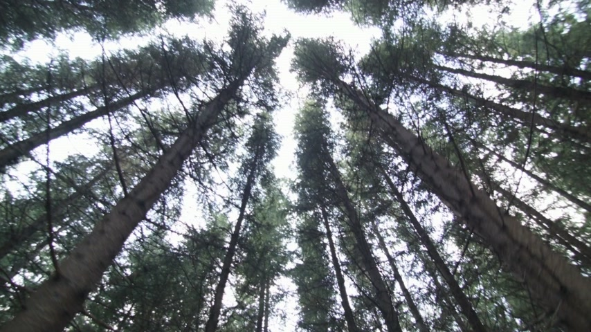 silvicultura : Tip of Mature Spruce Tree Plantation from bellow Stock Footage