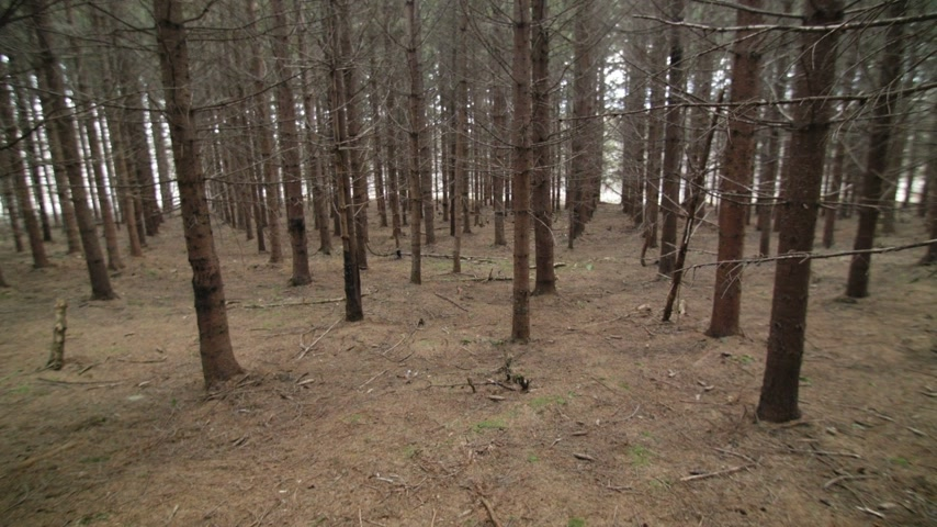 erdészet : Tilting Footage of a Mature Spruce Tree Plantation Stock mozgókép