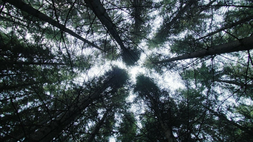 silvicultura : Looking up to the Tip of a Mature Spruce Tree Plantation from Bellow Stock Footage