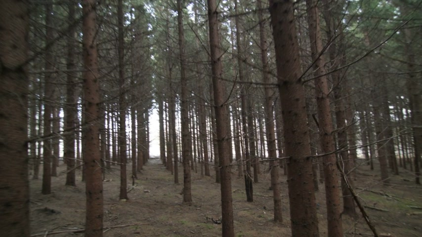 erdészet : Walking Through a Mature Spruce Tree Plantation