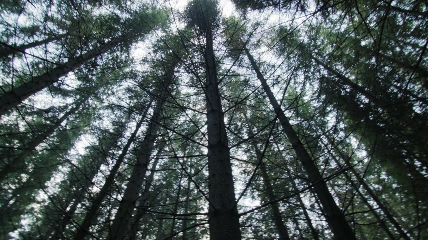 erdészet : Looking up to the Tip of a Mature Spruce Tree Plantation from Bellow Stock mozgókép