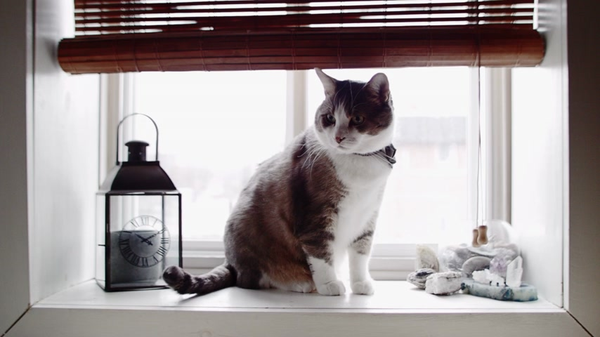 zwierzeta : Cinemagraph Photo-Motion of Funny Cat with Bowtie at the Window Wideo