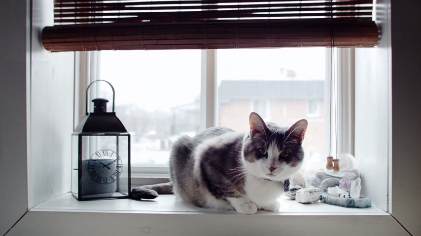 grey cat : Cinemagraph Photo-Motion of Funny Cat with Bowtie at the Window Stock Footage