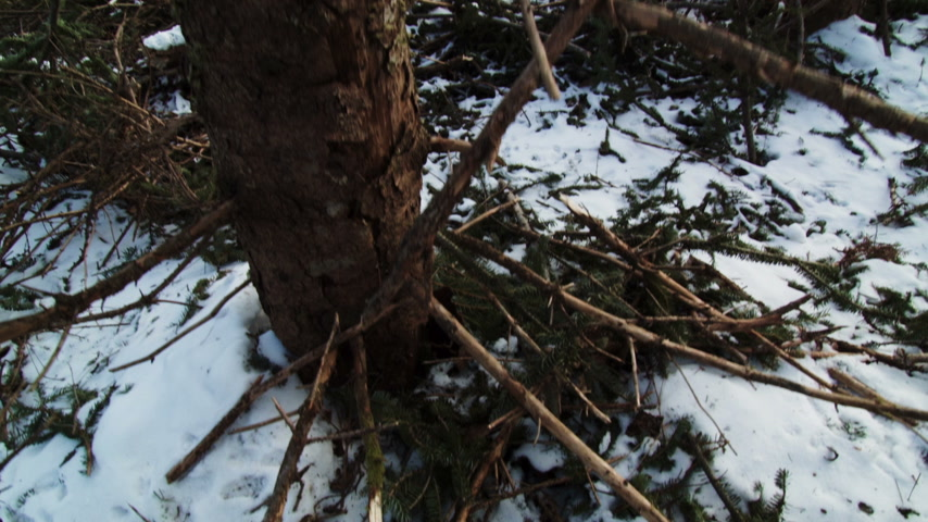 silvicultura : Forestry Theme - SteadyCam Panning up a Dead Tree and Clearcut in Background with huge wood piles.