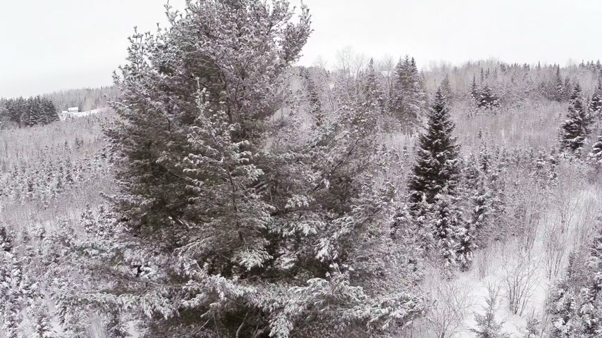 ladin : Aerial Video of a Big Mature Pine Tree during Winter after a snowfall