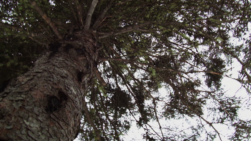 Lichen in a Mature Spruce Tree during Winter Stock Footage