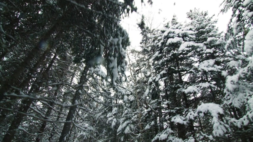 Wild Winter Forest of Spruce, Fir and a few Pine in Quebec, Canadaa Stock Footage