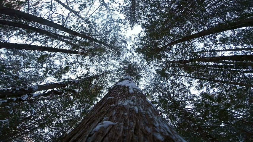 лесоматериалы : Impressive Slow Motion POV Footage of a Tree Falling down during Winter