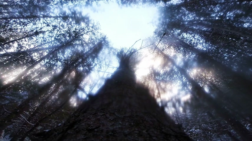 silvicultura : Impressive Slow Motion POV Footage of a Tree Falling down during Winter