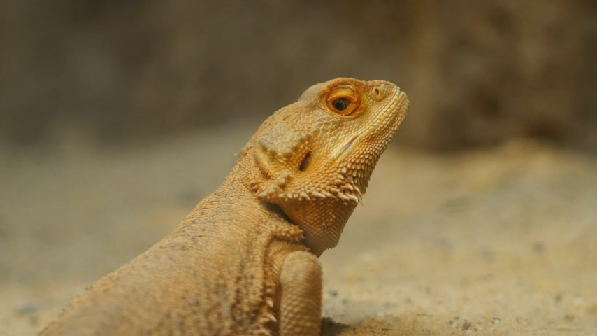 pogona : close up of Bearded Dragon Pogona vitticeps Stock Footage
