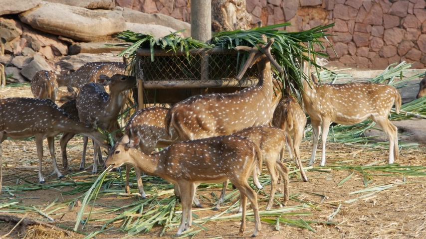 animaux zoo : Chital, Cheetal, cerf tacheté, Axis cerfs manger herbe