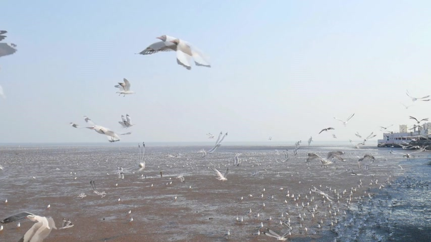 samut : slow motion of Seagulls circling above the mangrove forest at Bang Pu Samut Prakan , Thailand