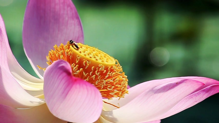 pollinating : bee pollination pink lotus flower in nature, footage Stock Footage