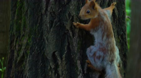 searches : A red squirrel moves through the park. Squirrel is looking for food. She checks the feeders, and looks for food on the ground and trees. Sometimes people feed the protein with seeds or nuts. Sunny summer morning in the park. Stock Footage