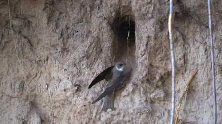 fészek : Swallows birds fly in and fly out of the burrow. They carry food for chicks. In the burrow they have a nest. The burrow was built on a steep sandy slope on the river bank. Sometimes swallows rest. Summer morning. Slow motion footage.