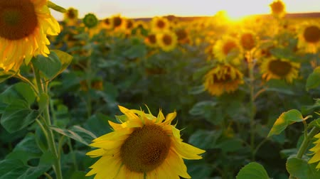 beautifully : Sun, sky and sunflowers. Beautiful sunset over a field of blooming sunflowers. The rays of light beautifully make their way through the sunflowers. The wind swings the plants. Summer sunset. Stock Footage