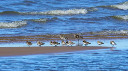 waders : A flock of birds waders (sandpiper) rest on the shallows at the very edge of the water. A flock consists of old and young birds. Some birds sleep standing on one leg. Others clean their feathers. Waves beautifully rolling to the shore. Sunny autumn day. Stock Footage