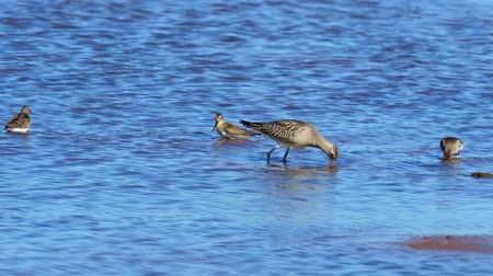 waders : A flock of birds of waders (sandpiper) searches for insect larvae and eats them. Birds stick their heads into the water and pick sludge with a long beak. There they find insect larvae and eat them. A sunny autumn day on the shallows of the river.