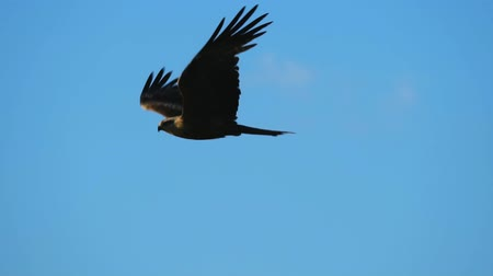 хищник : SLOW MOTION: A hawk bird flies across the sky. The bird flies against the wind. Стоковые видеозаписи