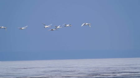 stěhovavý : SLOW MOTION: A flock of wild white swans in the spring sunny morning. On the lake floating ice.