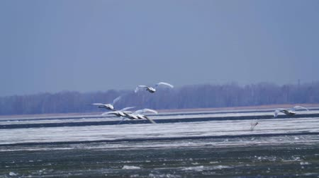 cant : SLOW MOTION: A flock of wild white swans in the spring sunny morning. On the lake floating ice.
