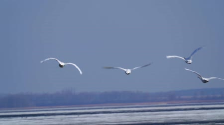 миграционный : SLOW MOTION: A flock of wild white swans in the spring sunny morning. On the lake floating ice.