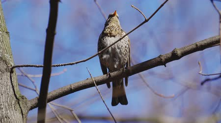 birdie : Bird thrush sits on a branch and rests on a sunny spring day.