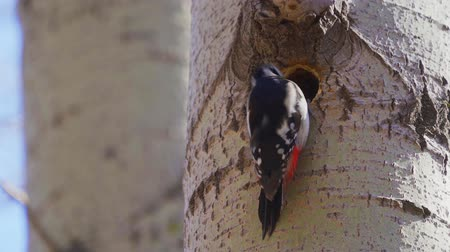 oco : The great woodpecker (Dendrocopos major) makes a tree There is a woodpeckers hollow needed.