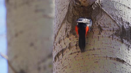 dendrocopos major : The great woodpecker (Dendrocopos major) makes a tree There is a woodpeckers hollow needed.