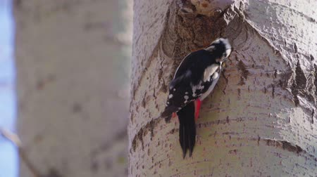 ornitologie : The great woodpecker (Dendrocopos major) makes a tree There is a woodpeckers hollow needed.