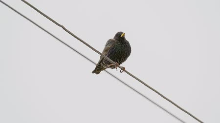 szpak : A black starling bird sits on an electric wire and rests. The wind moves the wires. Cloudy spring day.