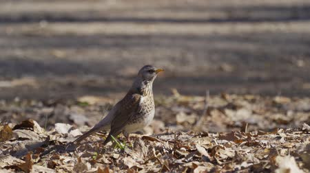 birdie : Bird thrush galloping on the ground covered with dry leaves. Sunny spring day.