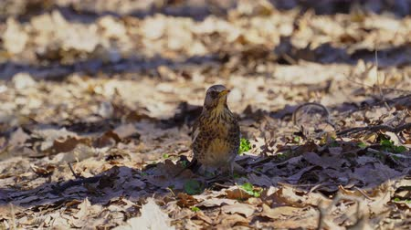 passarinho : Bird thrush galloping on the ground covered with dry leaves. Sunny spring day.