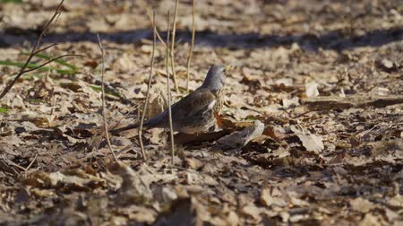 birdie : Bird thrush galloping on the ground covered with dry leaves. Thrush moves and leaves under water leaves. Sunny spring day.