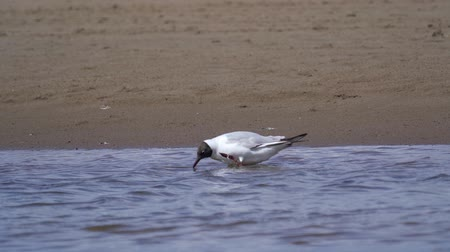 pióro : The bird gull walks on the sandy shoreline, searches for water and worms, and eats them. Summer sunny day.