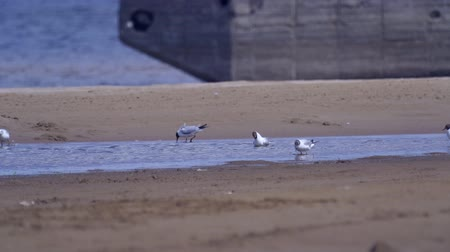 gaivota : A flock of seagull birds walk in shallow water. Sandy coast of the river. Sunny summer day.