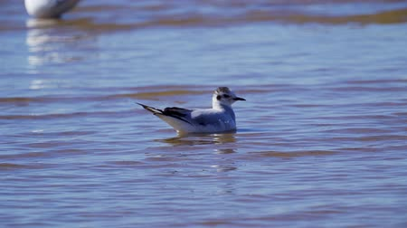 asa : Black-headed gull birds resting in shallow water. The black-headed gull floats on water. Small waves roll on the birds. Sunny summer day.