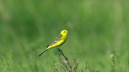 певчая птица : Yellow bird Yellow Wagtail sits on a dried bush. Summer sunny morning. Close-up with good bokeh.