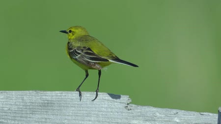 rack focus : Yellow bird Yellow Wagtail sits on a wooden fence. Summer sunny morning. Close-up with good bokeh.