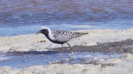 миграционный : White-black bird gray plover (Pluvialis squatarola) walks along the sandy shore. A strong wind rolls in waves. Sunny summer morning.