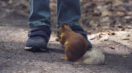 squirrel : Red squirrel eats seeds on a walkway in the park. A squirrel sits next to the boys legs. Sunny summer day in the park. Close-up. Stock Footage