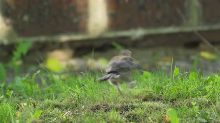 birdie : Bird thrush jumps on a lawn in park. Bird thrush searches for worms and then eats them. Sunny summer morning. Stock Footage